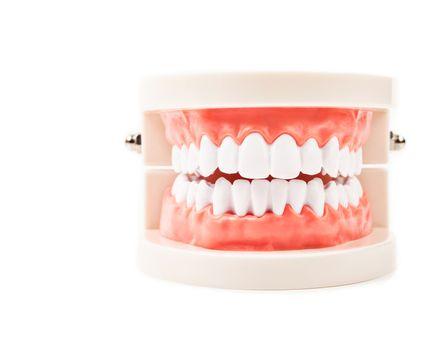 Dental Model on white background