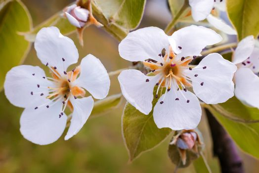 A branch of a blossoming pear tree.