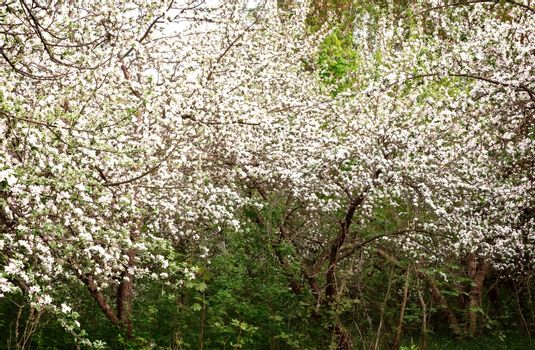 Blooming Apple trees in an old neglected garden.