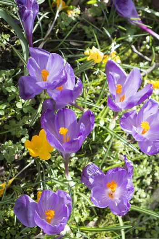 Multiple crocus flowers - crocus sativus