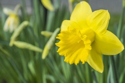 daffodil flower narcissus