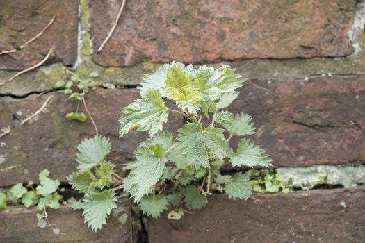 nettle growing on brick wall