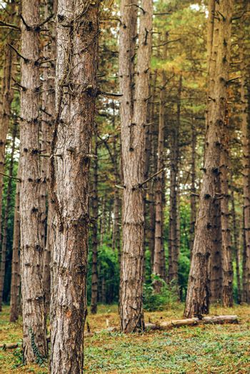 Pine tree forest in autumn october afternoon
