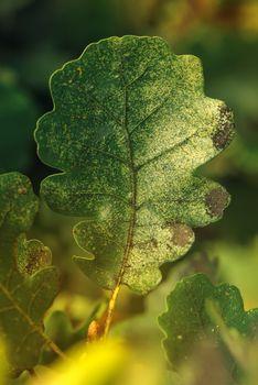 Autumn oak leaf on the branch