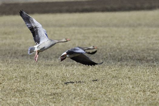 Greylag Goose Flying over Cultivated Field.