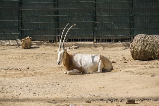 Oryx resting peacefully under the sun