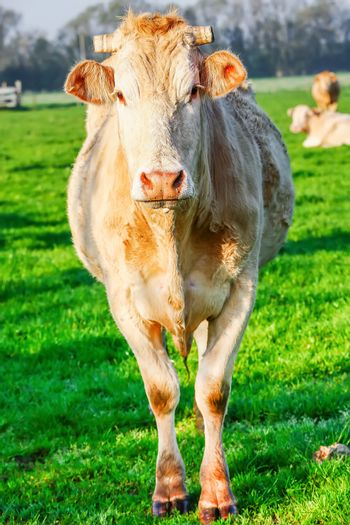 A blonde d'Aquitaine pedigree cow in a green natural meadow
