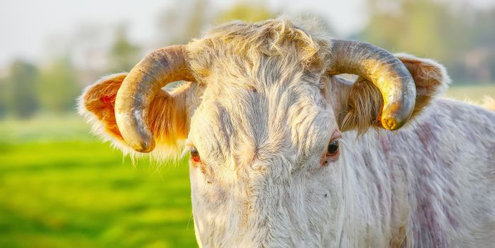 Head off blonde d'Aquitaine pedigree cow in a green natural meadow. Banner