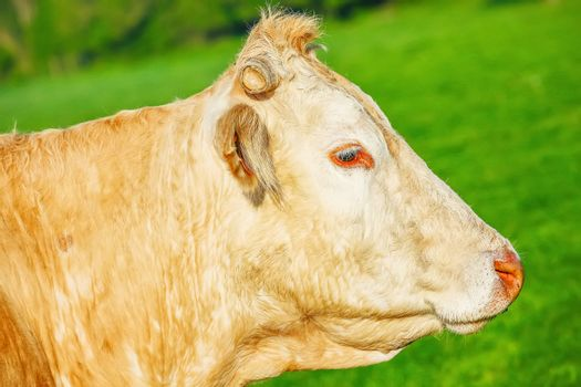 Head off blonde d'Aquitaine pedigree cow in a green natural meadow.