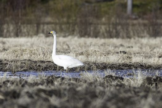 Whooper Swan in Water in Field.