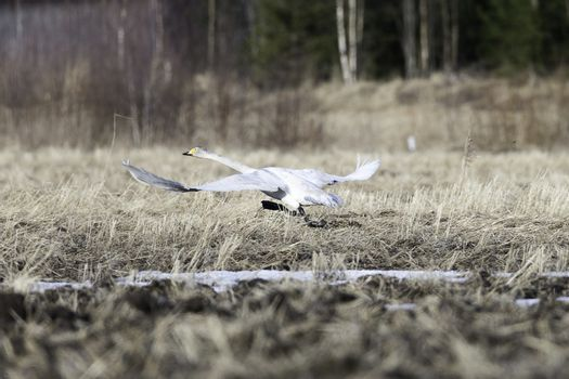 Whooper Swan Taking off from Grassy Field.