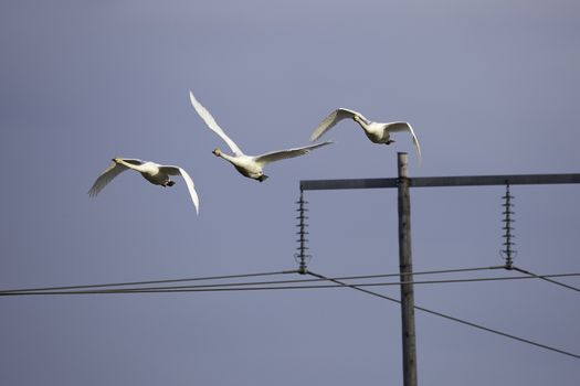 Whooper Swans Flying over Electricity Pylon.