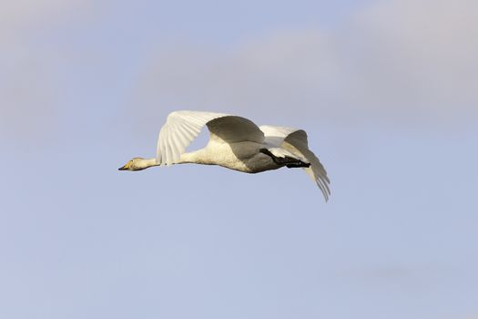 Whooper Swans Flying with a partly cloudy sky.