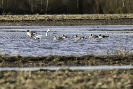 Whooper Swans in Water with Greylag Geese.