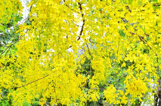 Yellow flowers hanging on a tree in the middle of nature