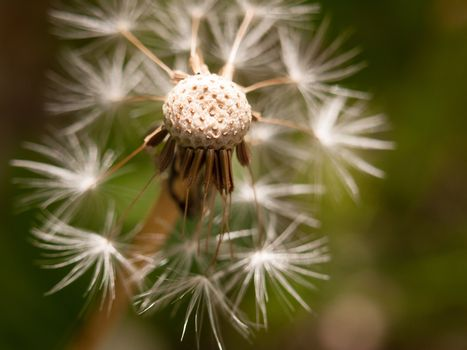 a white dandelion head close up broken bits missing flown off wi