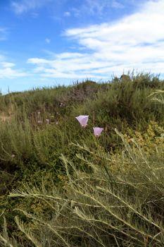 Purple gleam California poppy flower