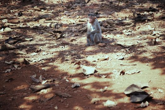 Wild monkey in the jungle of India