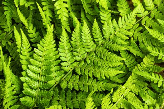 Green fern leaves background, top view