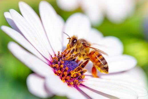Beautiful bee on daisy
