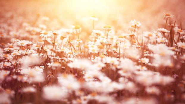 Beautiful daisy flower field