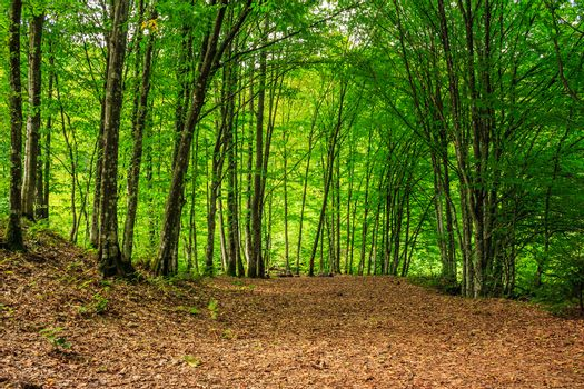 forest glade in  shade of the trees