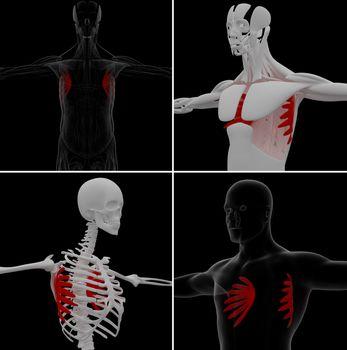 medical illustration of the serratus anterior