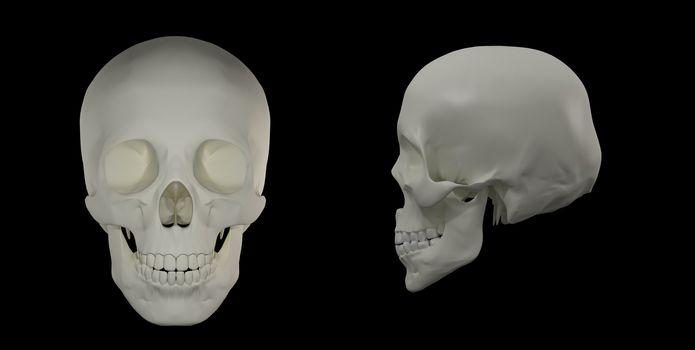 3d render of the Human Skull