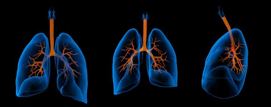 3D medical illustration - lungs with visible bronchi