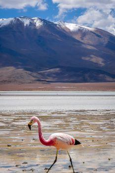 Pink flamingos in laguna Honda, sud Lipez altiplano reserva, Bol