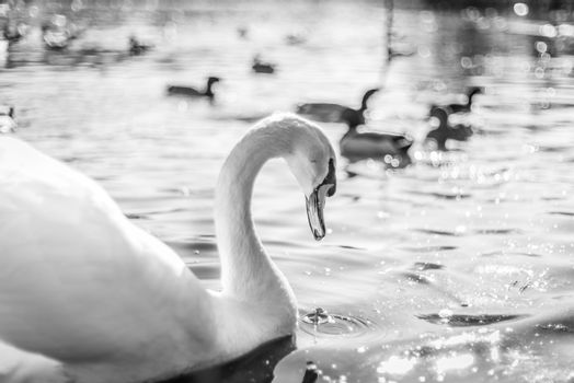 Swan in a lake in black and white