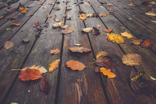 Autumn season with colorful autumn leaves in autumn colors in the fall on wet wooden planks in autumn nature
