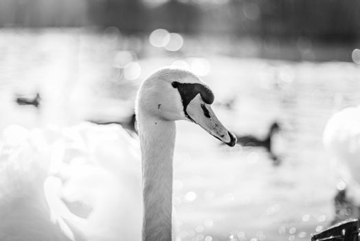 Swan in a lake in monochrome colors