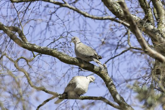Collared Dove Sitting in Tree.