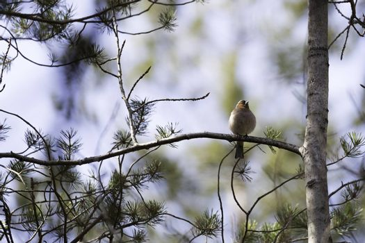 Common Chaffinch Bird in Tree.