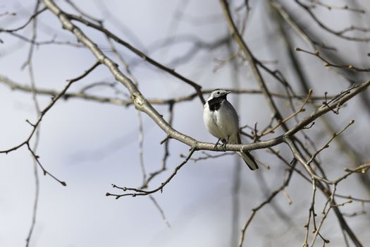 White wagtail Sitting in Tree.