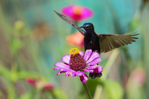 Image of a bird (purple sunbird) perched on flowers. Wild Animals.