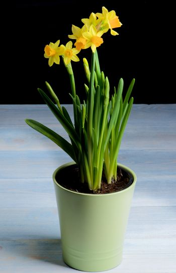 Bush Wild Yellow Daffodils with Buds in Green Flower Pot closeup Black and Blue Wooden background