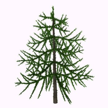 Araucaria is an early evergreen conifer that lived in the Triassic Period and is living today as trees such as the Monkey Puzzle tree.