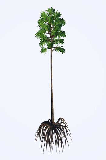 Cordaites are considered the ancestors of conifers and lived in the Carboniferous to the Permian Periods.