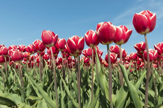 Red and white tulips field in the Dutch Noordoostpolder as a background picture