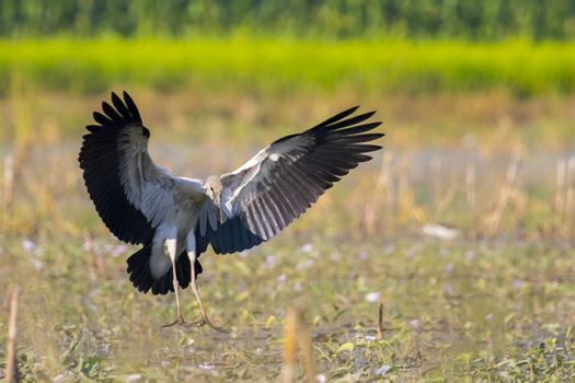 Image of asian openbill stork on nature background. Wild Animals.