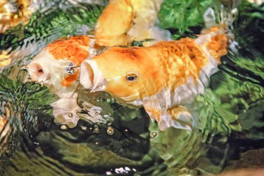 Koi - an ornamental domesticated fish.