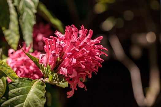 Brazilian plume flower Justicia carnea blooms with pink flowers