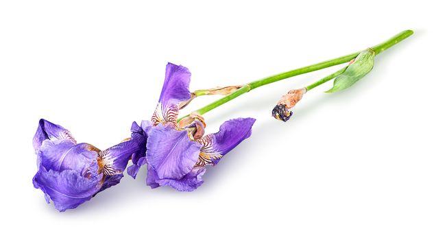 Single iris flower lying