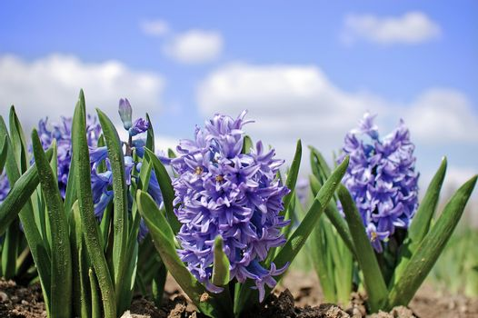 Beautiful group of purple blue flowers in the garden under a blue sky