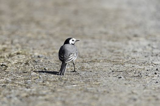 White Wagtail Looking Behind standing on gravel road.