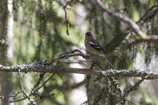 Common Chaffinch Sitting in Tree.