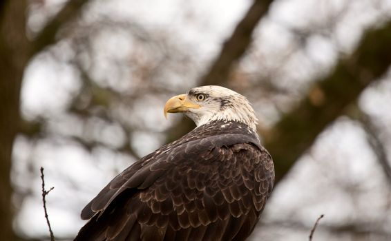 Bald Eagle British Columbia