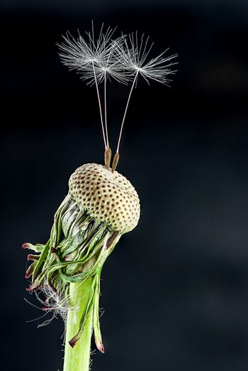 Dandelion with some feather